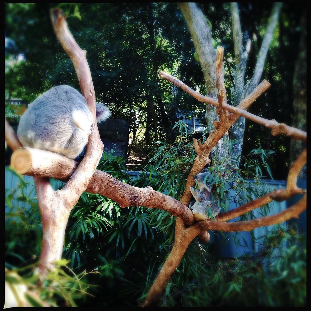 More Koalas by Niki Smallwood