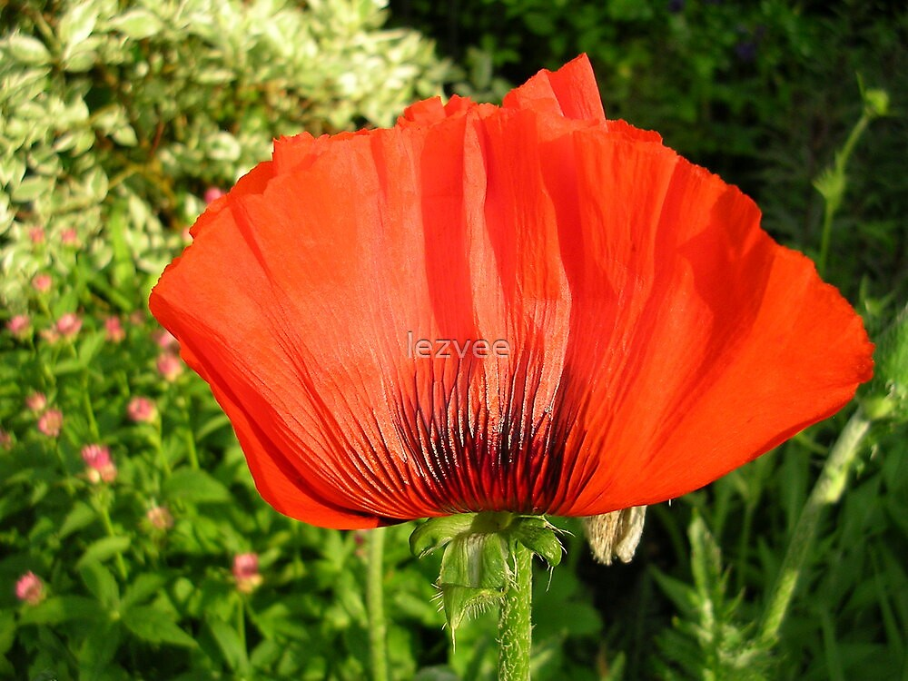 Poppy by lezvee