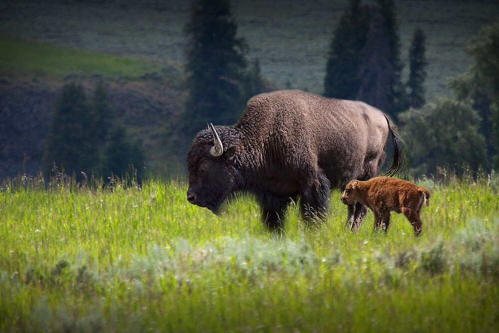 American Buffalo Mother and Calf in Yellowstone by Randall Nyhof