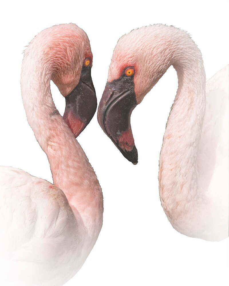 Two Pink Flamingo Love Birds by Randall Nyhof