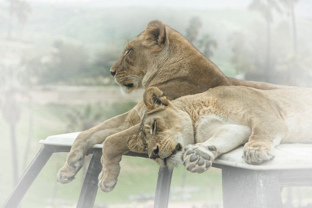 Sleeping Lions by Randall Nyhof