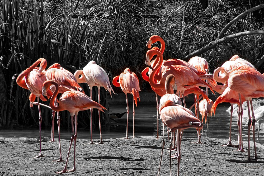 Pink Flamingos on Monochrome by Randall Nyhof