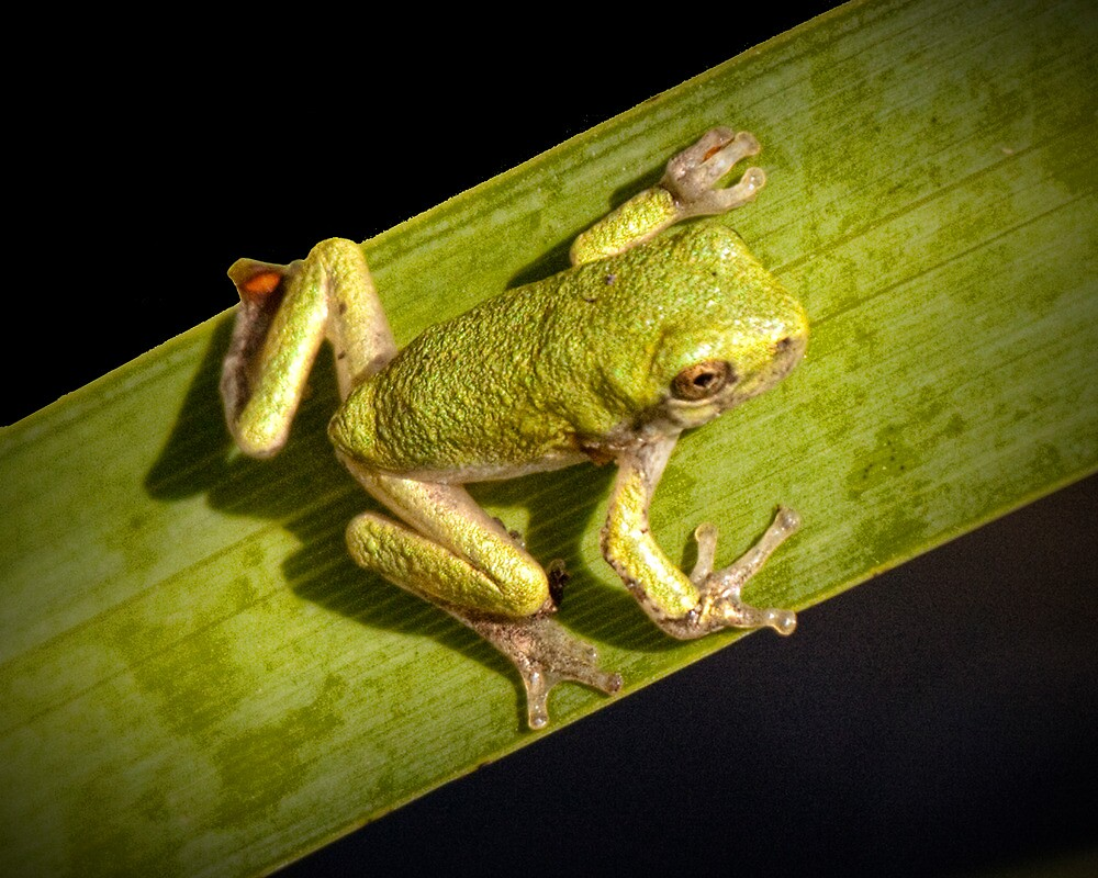 Tree Frog sitting on a Green Leaf by Randall Nyhof