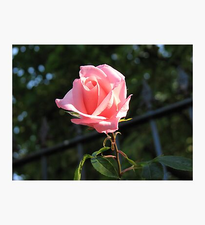 Only A Rose Photographic Print