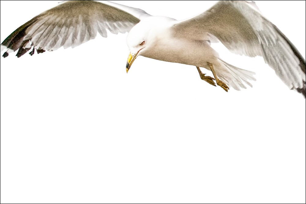 White on White, A Gull in Flight No. 2597  by Randall Nyhof