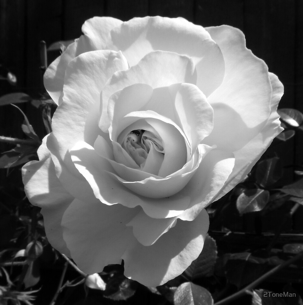 White Rose of Sussex by 2ToneMan
