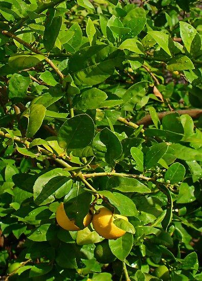 ©GS The Lemon Tree II by OmarHernandez