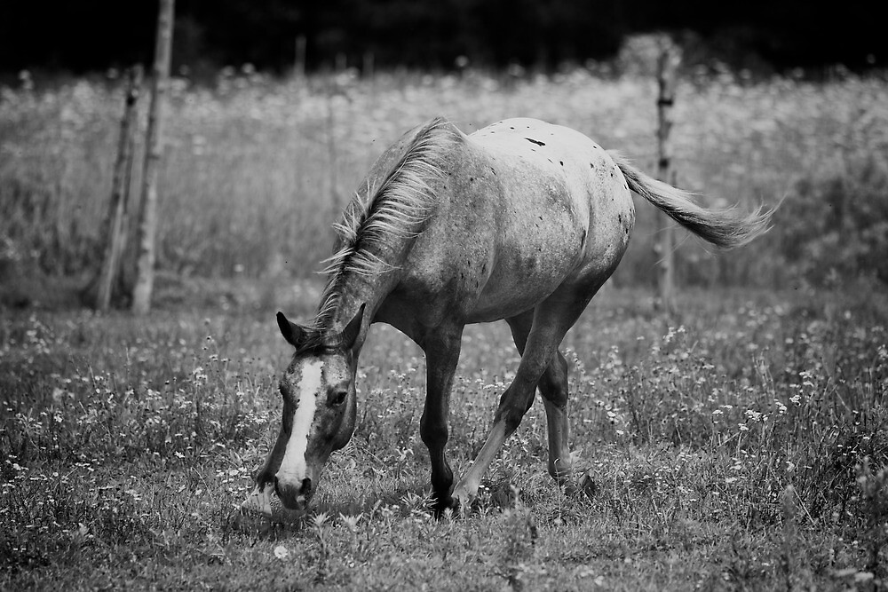 Appaloosa Horse Black and White by jamieleigh
