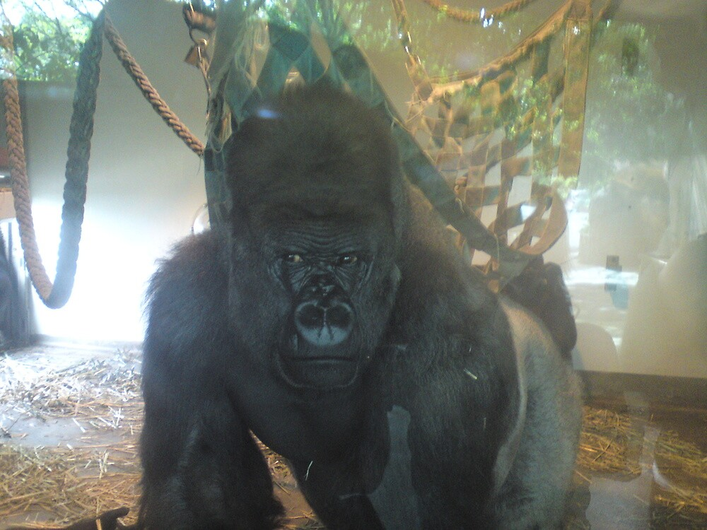 Gorilla through Glass by phwoar