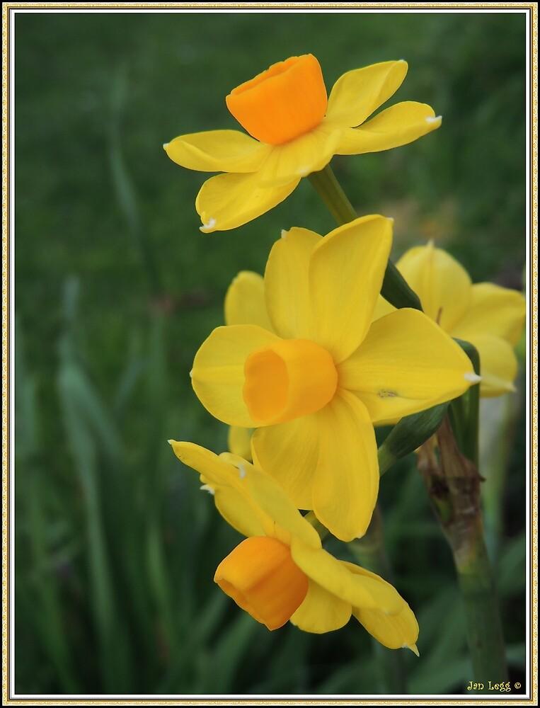 Winter Daffodil by Jan Legg