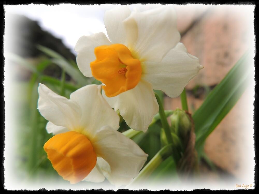 More Daffodils   by Jan Legg