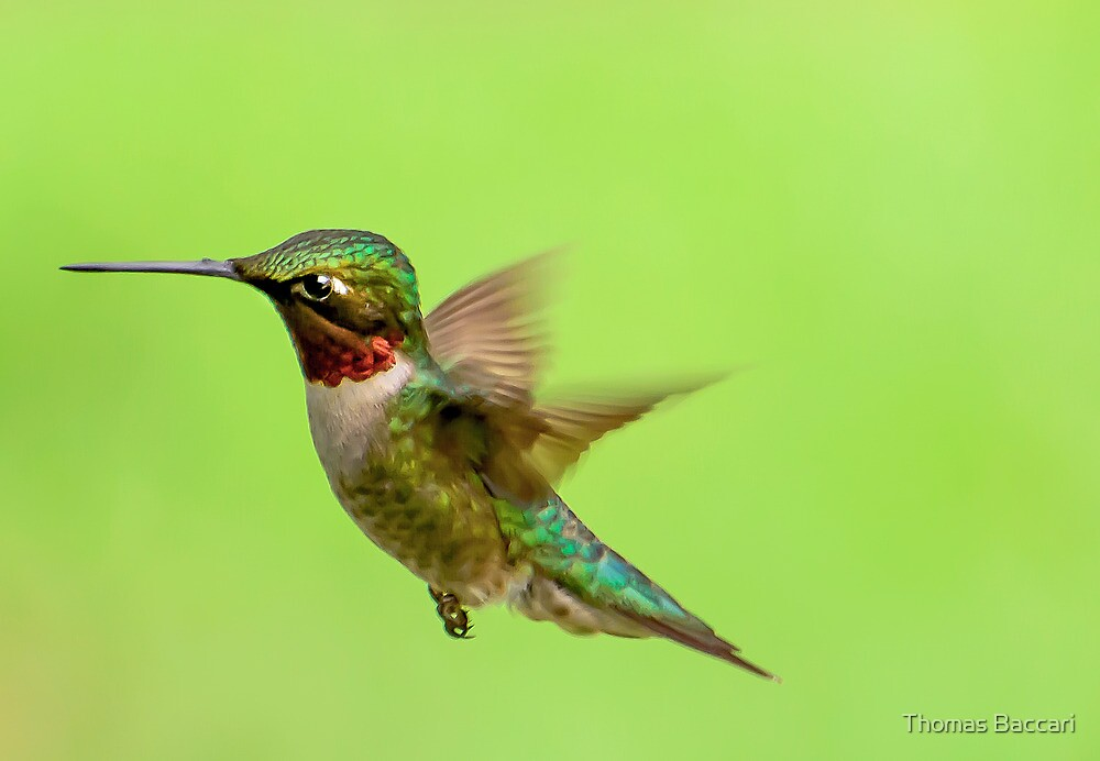 Male Ruby Throated Humming Bird in Flight by TJ Baccari Photography