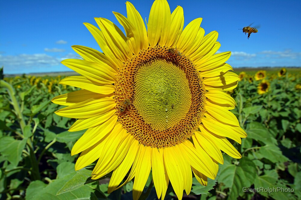 """Bees on sunflower"" by GrantRolphPhoto"