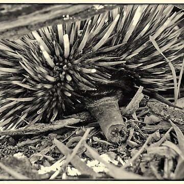 Echidna Cam by AmyesPhotograph