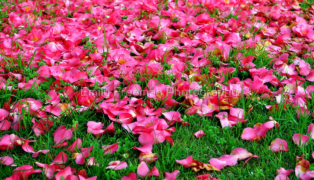 Camellia Petals by Emily Freeman Photography