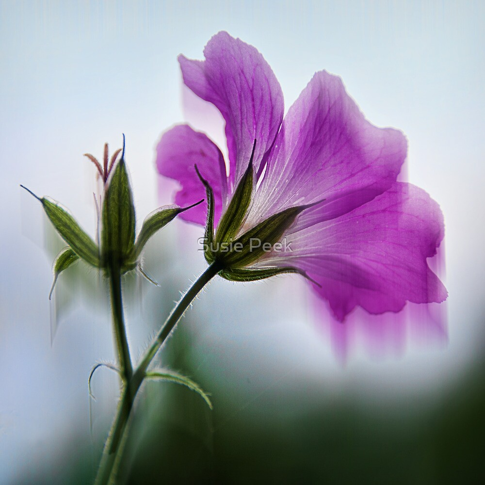 Wild Geranium Abstract by Susie Peek