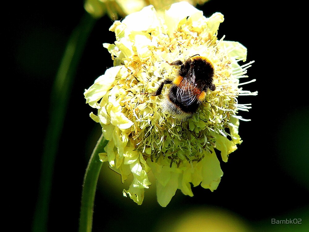 Bumble Bee on White Flower by Barnbk02