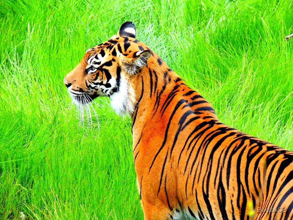 Standing Tiger by Barnbk02