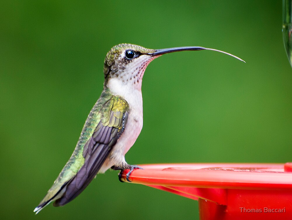 Hummingbird Sticking Tongue Out by TJ Baccari Photography