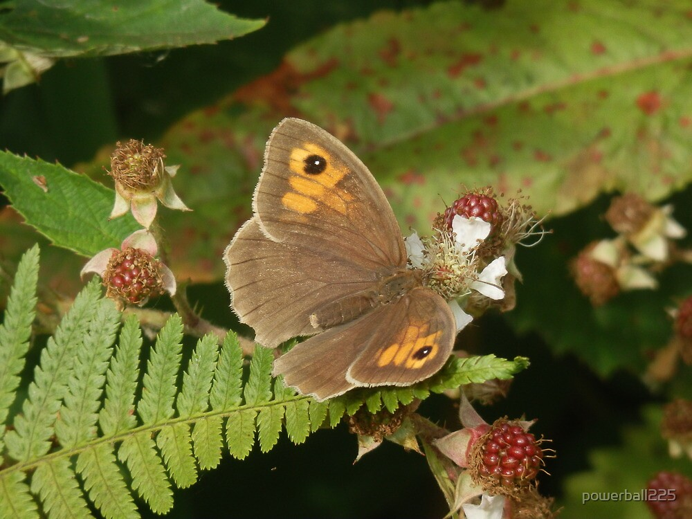 Meadow Brown by powerball225