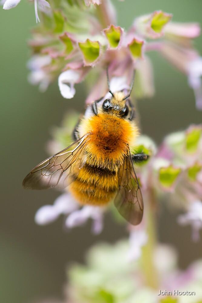 Moss Carder Bee by John Hooton