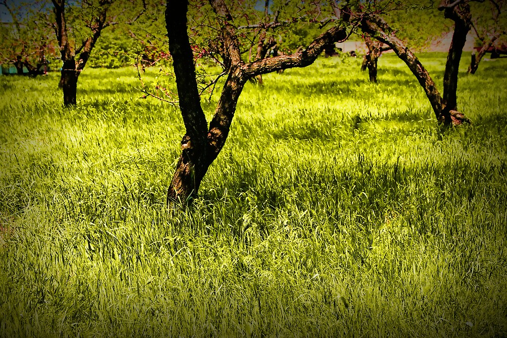 Tree Trunks in a Peach Orchard by Randall Nyhof