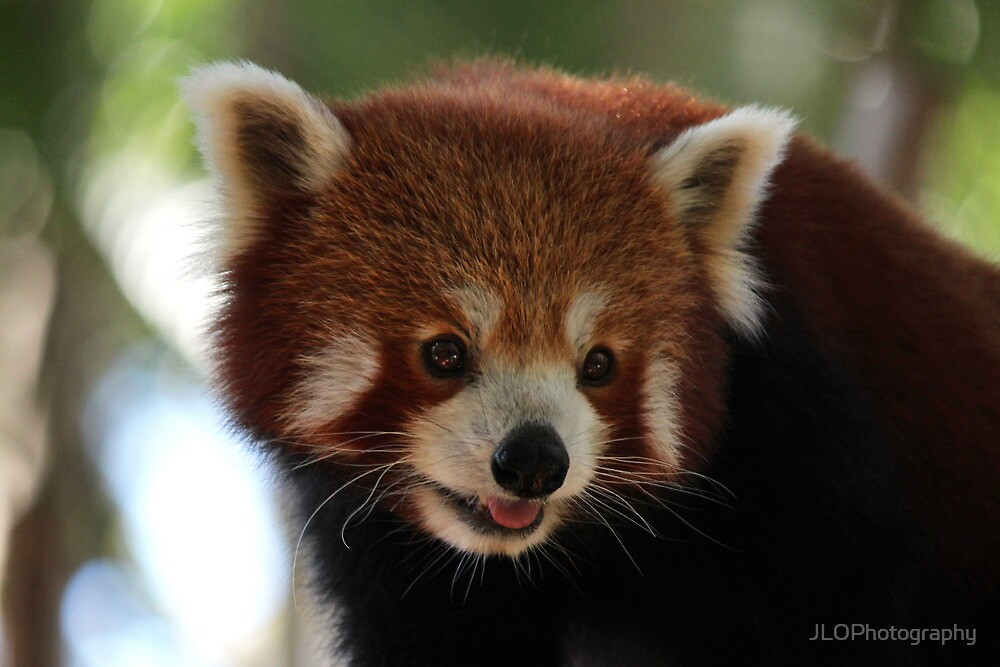 Red Panda Close Up by JLOPhotography