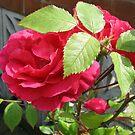 Roses in Hiding von BlueMoonRose