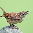 Carolina Wren on July Morning by Bonnie T.  Barry