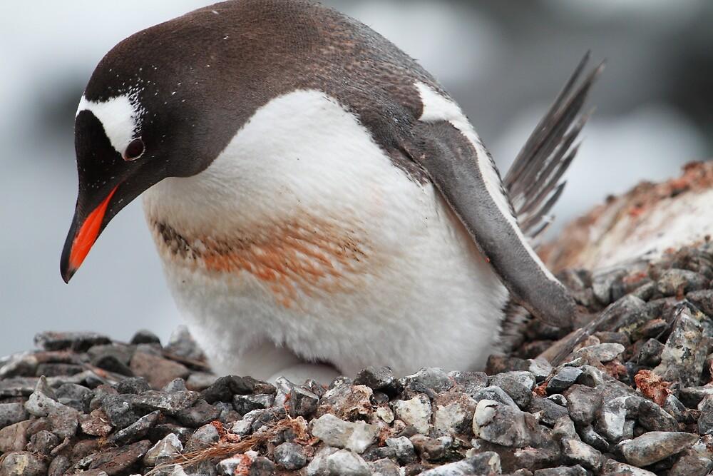 Nesting Gentoo Penguin by DianaC