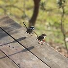 Fairywrens watching the world go by by emsta