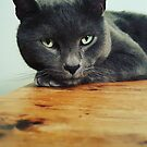 Russian Blue cat by Anne Staub