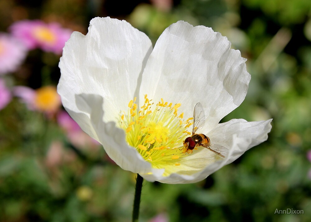 White Poppy & Hoverfly by AnnDixon