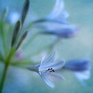 Blue Nile Iris by Honey Malek