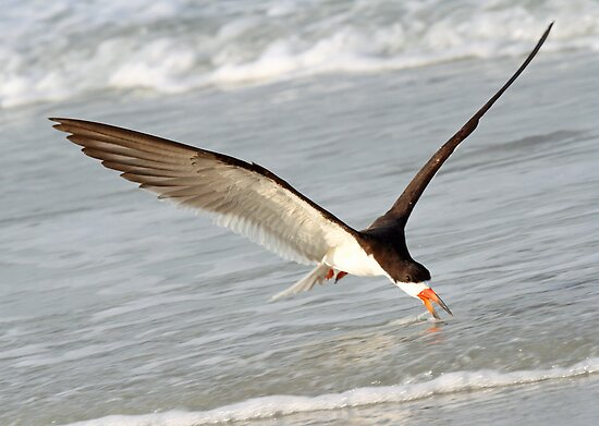 A Skimmer Skimming! by Anthony Goldman