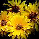 Yellow Daisies by Chantal PhotoPix