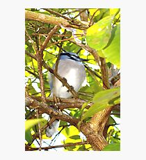 Young, well-fed jay Photographic Print
