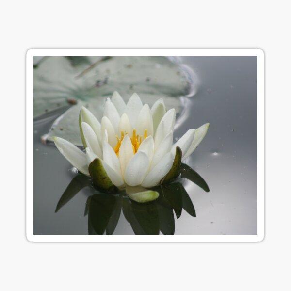 White Water Lily Lotus Flower Sticker