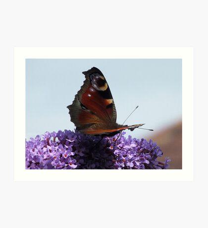 Butterfly on Buddlia Art Print