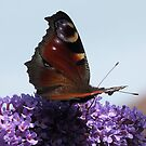 Butterfly on Buddlia by beracox