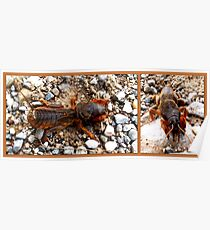 Mole cricket Poster