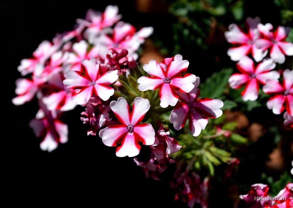 Peppermint Flowers by rosaliemcm