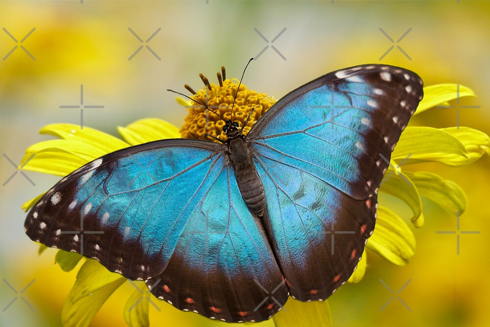The Blue Butterfly by EbyArts
