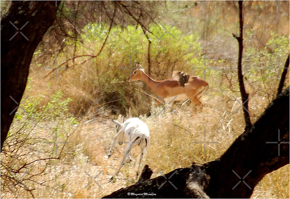 A RARE SIGHT OF A WHITE IMPALA - IMPALA - aepyceros melampus - A SONG FOR MAPUNGUBWE by Magriet Meintjes