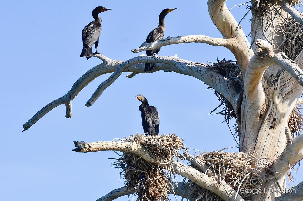 Cormorant Nesting Tree by George I. Davidson