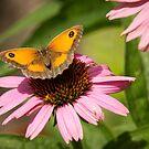 Gatekeeper Butterfly by John Hooton