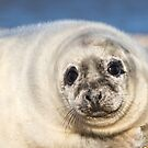 Seal Pup by Ellesscee
