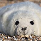 Seal Pup 2 by Ellesscee