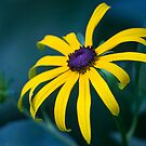 Bedazzled by the Black Eyed Susan by Mikell Herrick