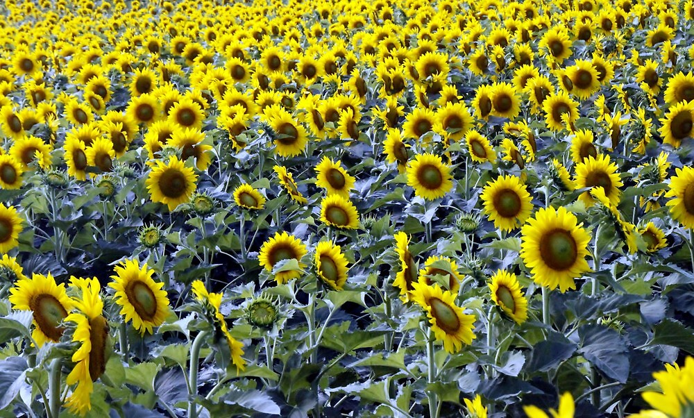A Field of Sunflowers by Terence Russell
